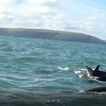 Common dolphins in Cardigan Bay