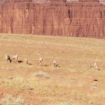Herd of Big horn sheep in the back country