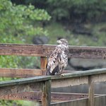 Juvenile eagle at Herring cove