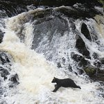 Momma bear fishing for salmon in Tongass national forest