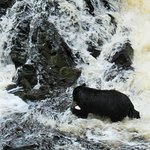 Momma bear with a salmon in her mouth in Tongass national forest