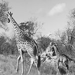 Newborn giraffe with mama, seen on afternoon drive