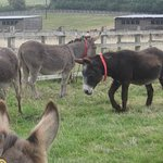Donkeys in one of the paddocks