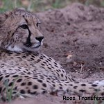 One of the young Cheetah cubs from the breeding program.