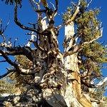 Photo de Ancient Bristlecone Pine Forest