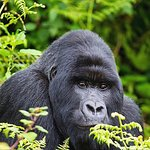 Get more about Gorillas at www.safaricongoadventure.com