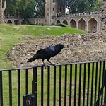 So many Friendly RAVENS at Tower of London