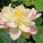 Lotus Flower in full bloom in August at the Montreal Botanical Gardens.