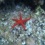 Estrella de mar. La estrella siempre estuvo dentro del agua.