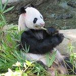 The famous panda