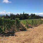 Winter's Hill Estate vineyards at harvest time