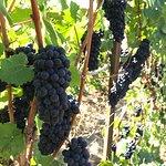 Pinot noir grapes ready to pick