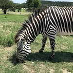 This zebra ignored us. But they had about 6 total zebras