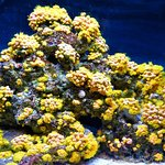 onvasive coral