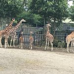 A herd of Giraffe's - with their young