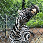 zebra was chewing at and shaking the fence when we approached.