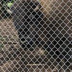 huge bison living in tiny enclosure full of poop.