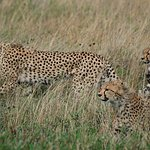 A mother cheetah teaches her three young cubs to hunt near a herd of wildebeest.