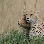 The young cheetahs were more into romping and cuddling than hunting.