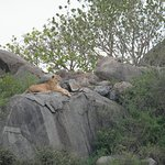Lion Queen, perched above the rocks. She had cubs nearby and probably was scouting for lunch.