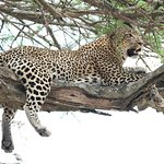 This leopard lounged high in a tree, waiting for some privacy to finish his gazelle lunch.