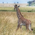 Barely 4 feet tall, this giraffe baby sprinted to catch up with mom.