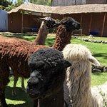 Photo of Mundo Alpaca