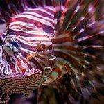Beautiful Lionfish