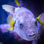Pufferfish with some stunning colours!