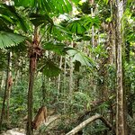 Licuala Palms grown into strange shapes as they adapt to rainforest living