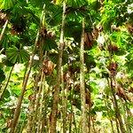 A sea of Licuala Palms (aka fan palms)