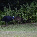 You cant miss the Cassowary while in the Daintree