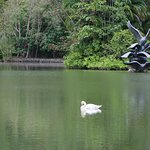 Swans on a pond.