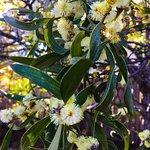 Spring wattle and cherry blossoms Blackheath