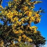 Wattle in bloom in September, Blackheath