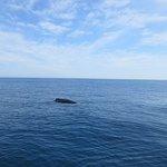 Whale calf off Hillary's WA