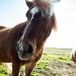 Spoiled Icelandic horses