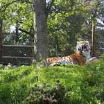 Tiger on mound
