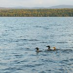 Loons with chick