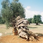3000 year old olive tree!