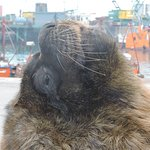 Lobo marino en el puerto de Mar del Plata