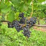 Grand Pre Red Wine still on the vine