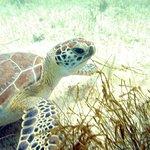 Turtle Snorkeling in Akumal照片