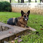 Ruby, one of the resident Alsatians