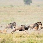 Wildebeest in pursuit at Ndutu Safari Lodge