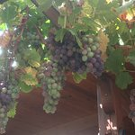 Dining beneath the grapes
