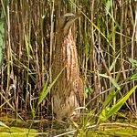 Bittern stalking through the reedbeds