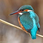 Kingfisher waiting patiently in the reedbed channel