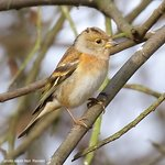 Brambling on the Meadow Trail