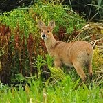 Chinese water deer on the Meadow Trail